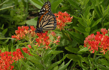 Monarch Butterfly on Butterfly Milkweed