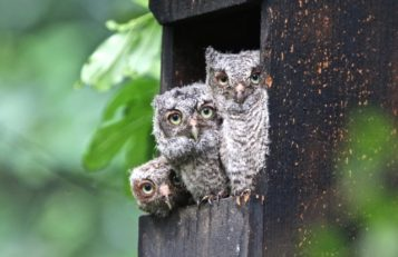 Eastern Screech Owl babies take a look at the world.
