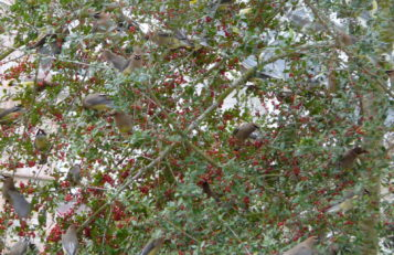 Cedar Waxwings eat Yaupon Holly berries.