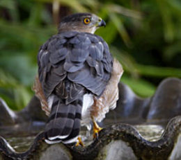 http://www.birdfriendlyhouston.org/wp-content/uploads/2017/01/Coopers-Hawk-260x231.jpg
