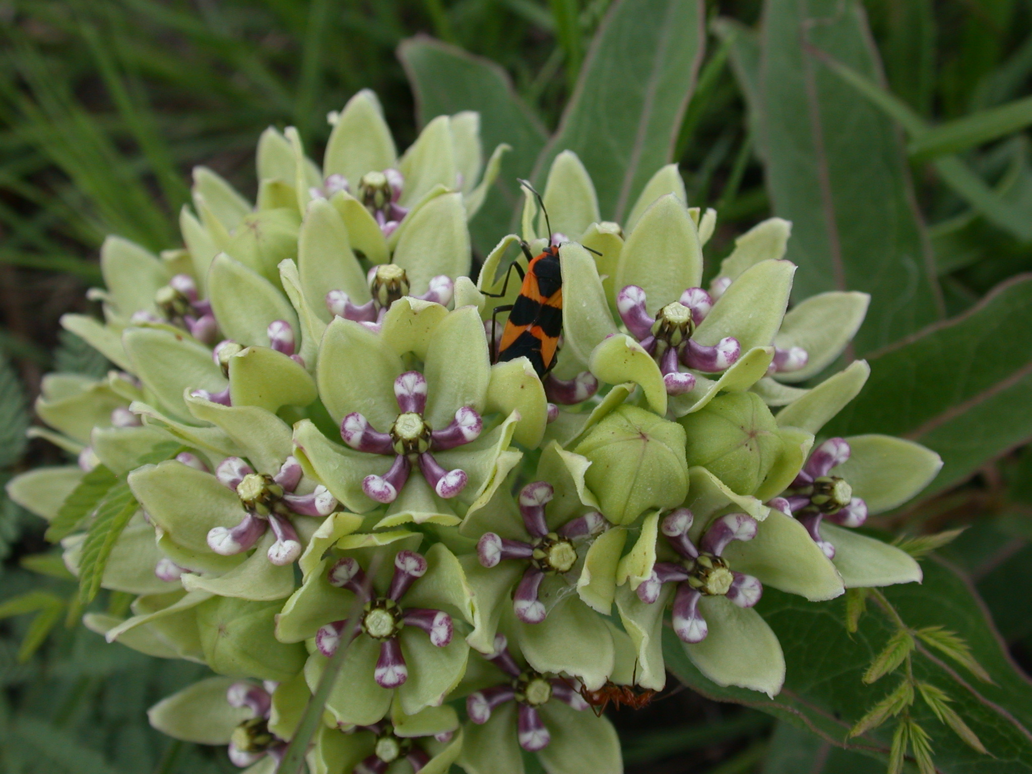 http://www.birdfriendlyhouston.org/wp-content/uploads/2017/01/Green-milkweed-and-milkweed-bug-by-Don-Verser-copy.jpg