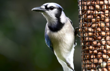 Blue Jays love peanuts.
