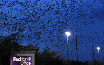 Purple Martin Migration