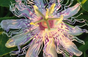Purple Passionflower has gorgeous blooms and is an aggressive grower.