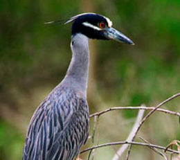 http://www.birdfriendlyhouston.org/wp-content/uploads/2017/01/Yellow-crowned-Night-Heron-260x231.jpg