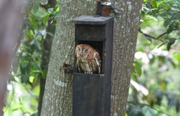 http://www.birdfriendlyhouston.org/wp-content/uploads/2017/01/screech-owl-in-box-357x231.jpg
