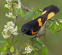 http://www.birdfriendlyhouston.org/wp-content/uploads/2017/01/top-birds_american-redstart-e1493996429319-260x231.jpg