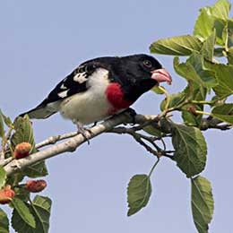 Rose-brested Grosbeak