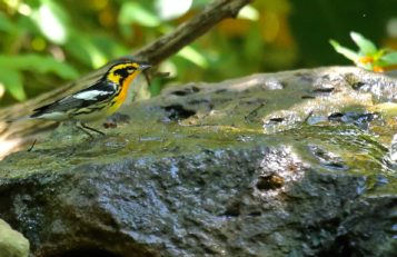 Blackburnian Warbler on bubbling rock.