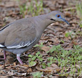 http://www.birdfriendlyhouston.org/wp-content/uploads/2017/01/white-winged-dove.jpg